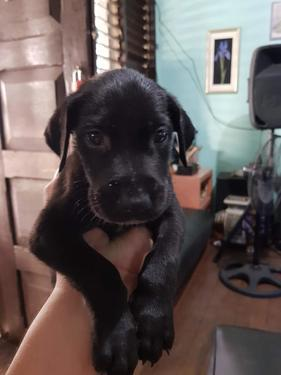 KCI Registered Black Great Dane Puppies for Sale 0