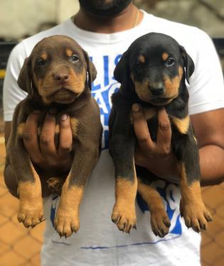 Legendary quality breed Doberman puppies available 0