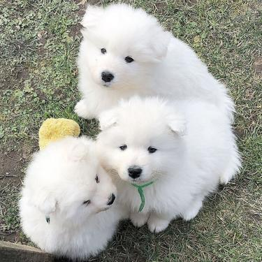 Cute adorable male and female samoyed puppies ready for sale 0