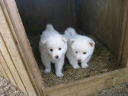 Pure breed indian spitz male and female available for sale 0