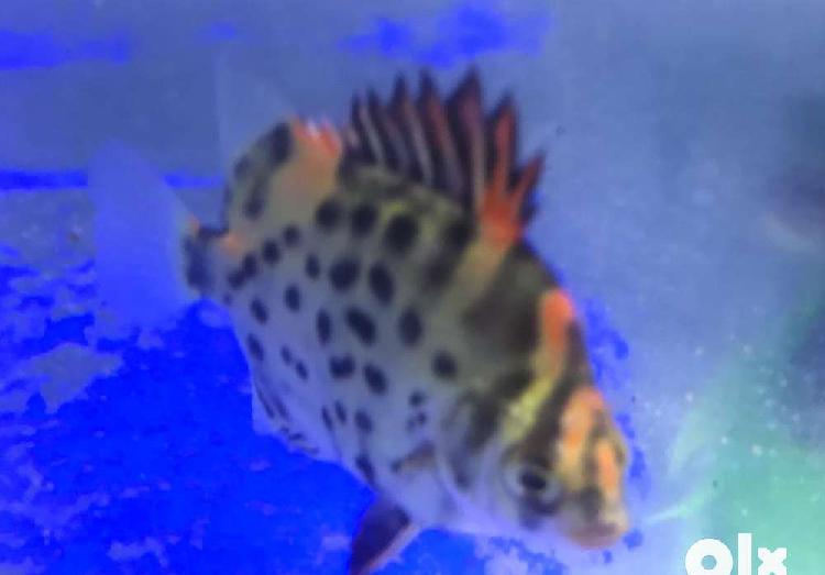 red spotted scat fish for sale 0