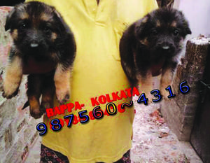 Forty days top quality german shepherd dogs sale at kolkata
