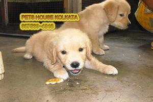 Absolutely gorgeous golden retriever pets available