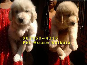 Champion quality golden retriever dogs for sale at kolkata