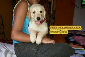 Cute and healthy golden retriever dogs for sale at kolkata