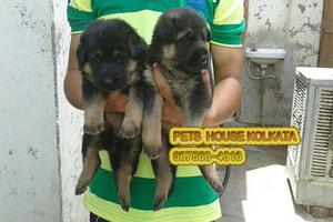 Get the best german shepherd dogs available at kolkata