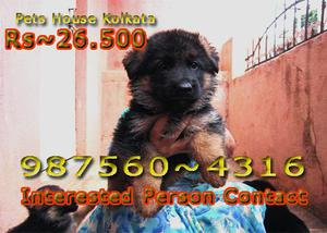 Healthy german shepherd dogs available at kolkata