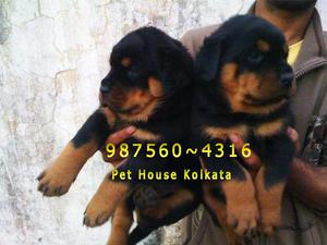 Imported quality rot wailer dogs 4 sale at pet house kolkata