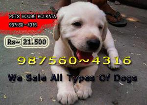Labrador dogs available at kolkata