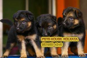 Original german shepherd dogs for sale at rajarhat kolkata