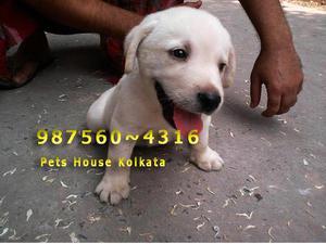 Original top quality cute labrador dogs for sale at bolpur