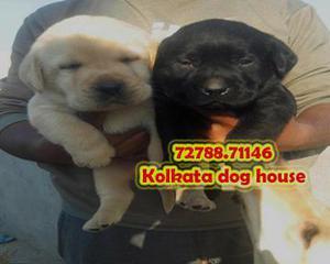 Top pedigree labrador dogs waiting for sale kolka ta