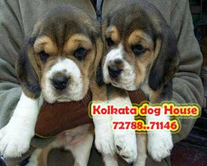 Imported line up beagle dogs for sale at aizawl