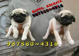 Original pug dogs and puppies for sale at bhrampur kolkata