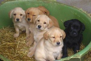 Show labrador puppy available with registration