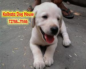 Best labrador dogs at best prices only at kolkata dog house