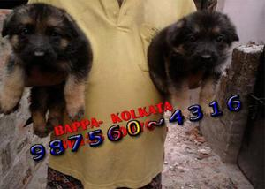 Home raised top german shepherd dogs available at imphal