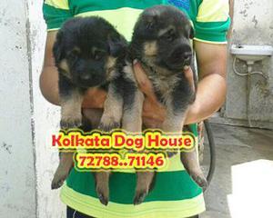Imported best quality german shepherd pups avail kolkata