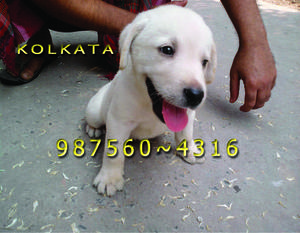 Labrador imported quality ready to sale at bardhaman