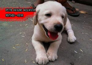 Labrador imported pedigree ready to sale at imphal