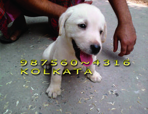 Labrador show quality puppies for sale at bilashpur