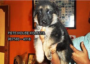Lovely come adorable german shepherd dog for sale at kolkata