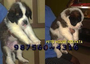 Saint bernard dogs and puppies for sale at your imphal