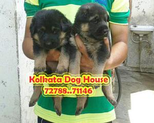 Show quality german shepherd dogs for sale at delhi