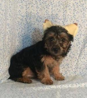 Yorkshire terrier puppies available at toybreed kennel