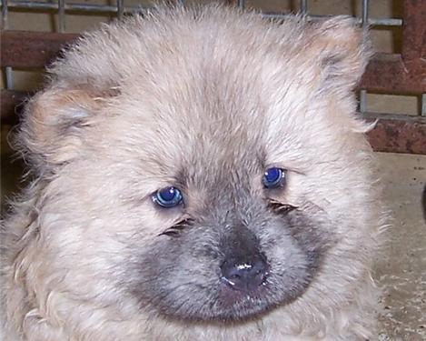 Chow- chow pups for sale. import parents. regd.
