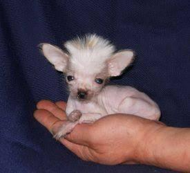 Chinese crested puppy for sale in india
