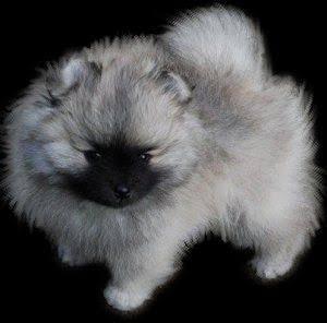 Wolf sable teddy bear pomeranian puppy for sale
