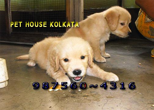 Good golden retriever dogs available for sale at aizawl