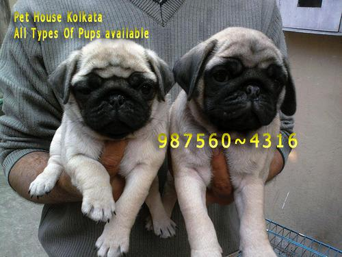 Vodafone pug dogs ready for new home from dimapur