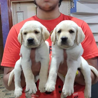 Heavy boning show breed labrador pups available in Bangalore