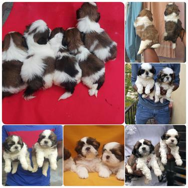Marvelous quality litter of shihtzu pups available in bangal