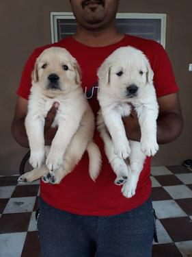 Outstanding quality golden retrieve puppies available