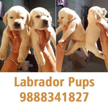 Labrador male pups in jalandhar 9888341827