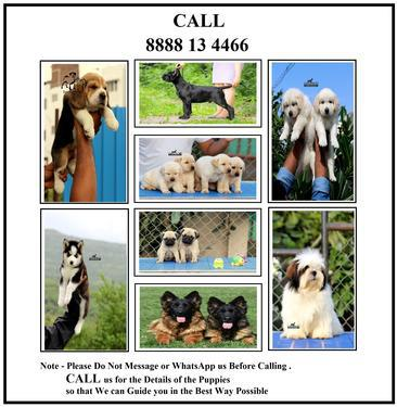 Golden retriever husky labrador shih tzu pug german shepherd