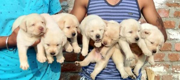 Healthy labrador female puppies 【 ADS July 】   Clasf