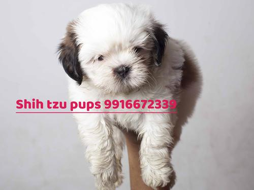 Shih tzu is a toy breed 45 with vaccination micro chip r