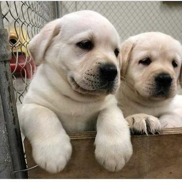 Golden Husky Labrador Ads November Clasf