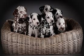 Beautiful and cute dalmatian puppies for sale they are lo