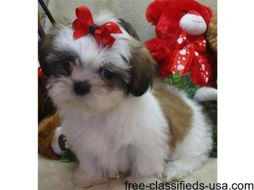 Shih tzu puppies adoption 【 ADS September 】 | Clasf