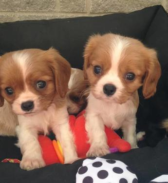 Beautiful kci cavalier king charlse spaniel puppies for sale