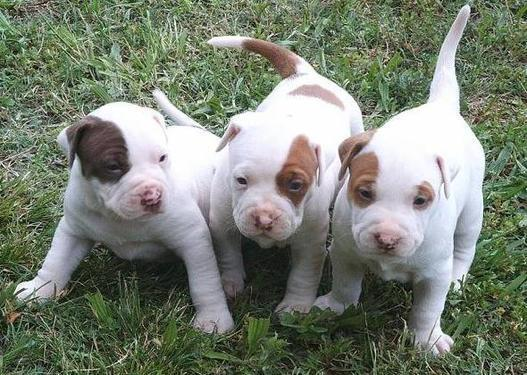 Cute male and female american pit bull terrier puppies for s