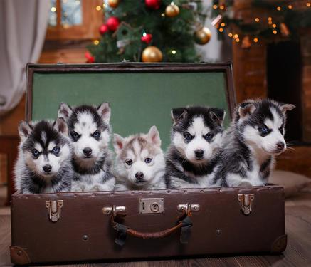 Siberian husky puppies blue eyes white and black available