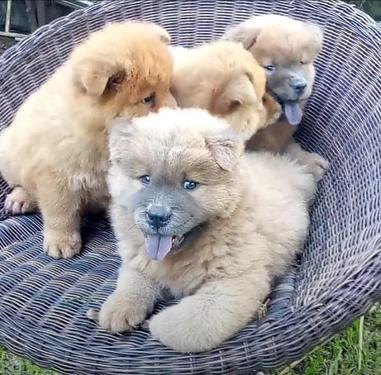 We have cute and beautiful kci regchow chow puppies for sal
