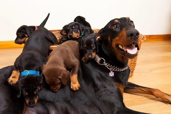 ADORABLE male and femle Doberman puppies for sale We have l