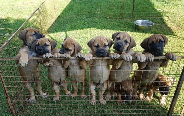 Adorable BOERBOELS Male and Female Cute Puppies For Sale
